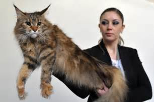 5 largest domestic cat breeds in world