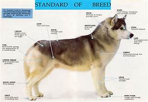 Siberian Husky Dog Size Chart - Siberian husky dog breed ...