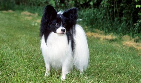 Dogs That Dont Shed Papillon by Do Papillon Dogs Shed 8 Cool Wallpaper