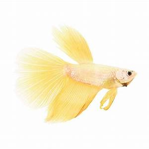 Rose Gold Betta | Petco