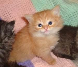 Hypoallergenic orange siberian kitten :) | Kittens ...