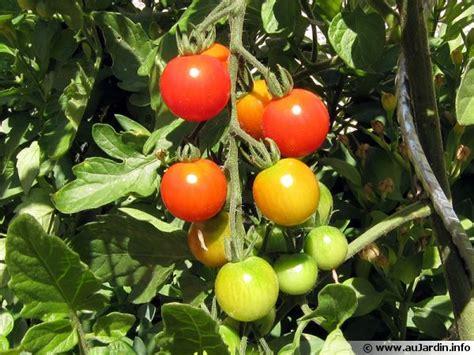 a cuisiner cultiver des tomates en pots