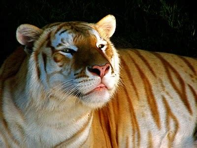 Beautiful Golden Tabby Tiger You Must See Place