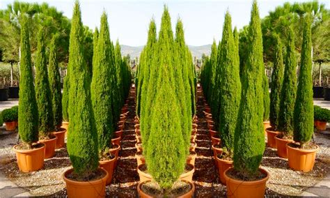 cypress trees in pots two gogh cypress trees groupon