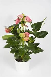 Plante Fleurie Intérieur : plante fleurie d 39 int rieur anthurium rose livraison ~ Premium-room.com Idées de Décoration