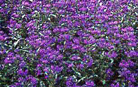purple trees name xeriscape plants