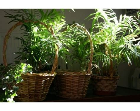fern house plants how to care for fern house plants ehow com gardens ferns moss pinterest