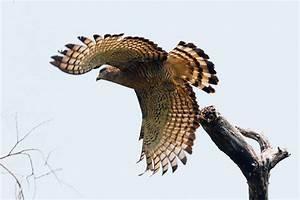 Southern Banded Snake-eagle – Bird & Wildlife Photography ...