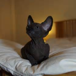 black sphynx cat sphynx kitten solid black bournemouth dorset