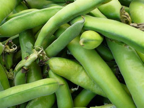 fava beans favism g6pd deficiency and favism