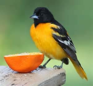 Oriole Birds Like Oranges