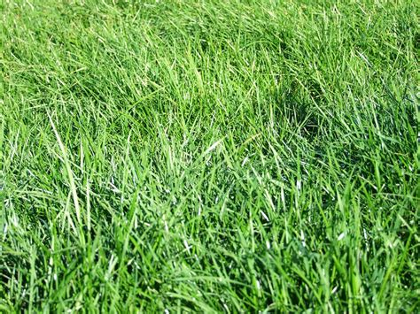 Over-seeding Centipede Lawns With Winter Rye