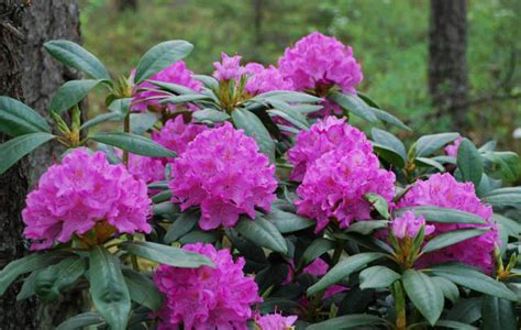 rhododendron photos rhododendron english roseum
