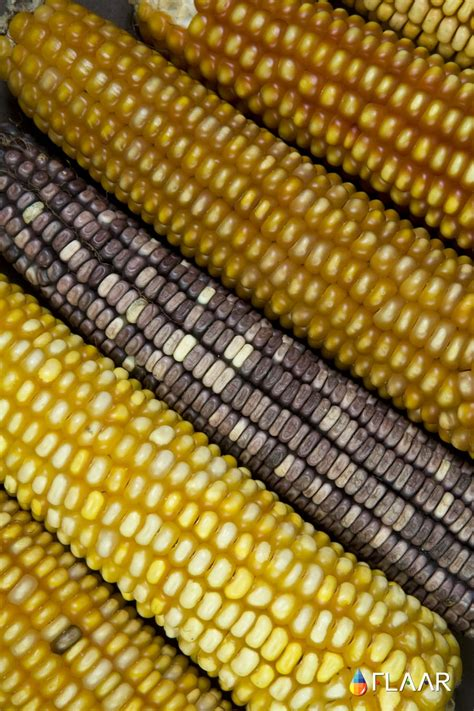 Photo Gallery of Maize