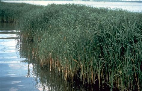 halophyte wikipedia