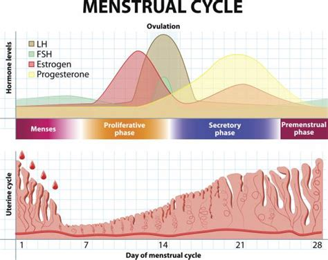 Shedding Of Uterine Lining During Pregnancy by 100 Shedding Uterine Lining While Why The