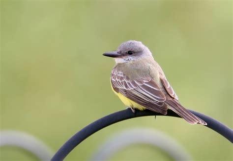bill hubick photography tropical kingbird tyrannus