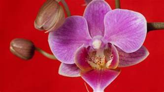 are orchids poisonous to cats are orchids poisonous reference within orchids