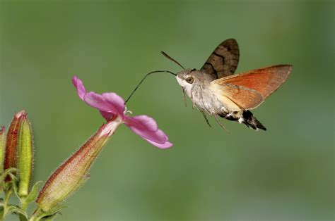 hummingbird moth recent sightings a moth diaries update coombes churnet valley coombes valley the rspb