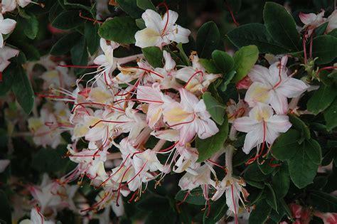 lollipop azalea rhododendron lollipop  boston