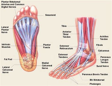 Diagram Of Heel Structure by The Anatomical And Physiological Overview Of The Human Foot