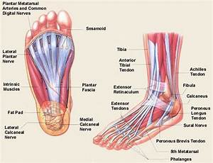 The Anatomical And Physiological Overview Of The Human Foot