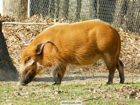 wallpaper red river hog images