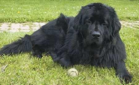 No Shedding Dog Breed by Newfoundland Dog Breed Information