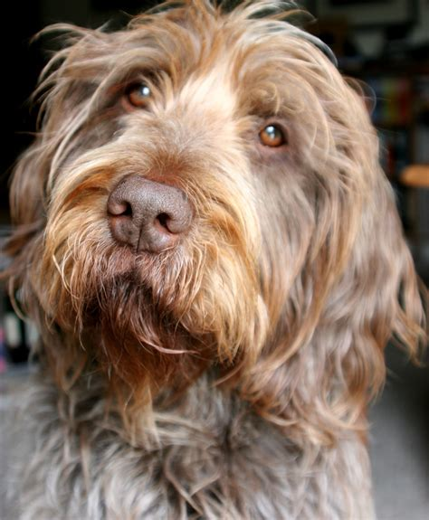 Non Shed Dogs Large by Labradoodle Breed Standard Aussiedoodle And Labradoodle