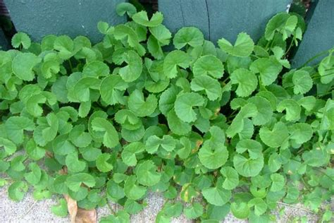 pennywort | Weed Identification – Brisbane City Council