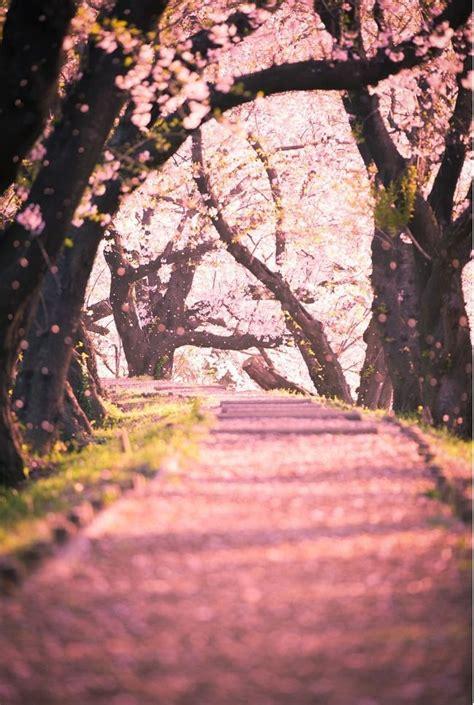 cherry blossom leaves falling paisaje japon arbol de
