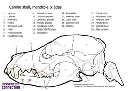 canine skull anatomical colouring  worksheet