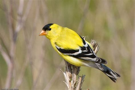 american goldfinch cubs