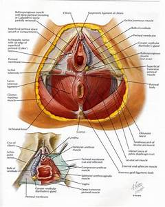 Female Pelvic Anatomy Female Pelvic Anatomy