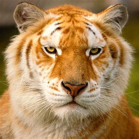 Colorful Tigers Endangered Fire