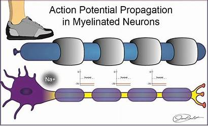 Myelin Ap Refractory Created Cell Membranes Byu