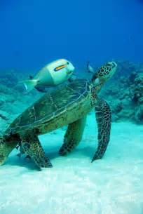And Friend Sea Turtle