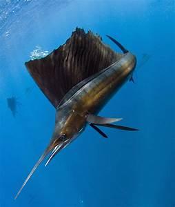 Atlantic Sailfish Istiophorus Albicans Photograph by Pete