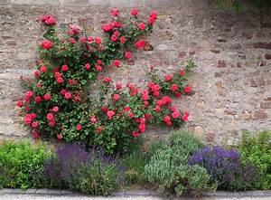 Rosen Und Lavendel : file fulda kletterrosen und lavendel juni 2012 jpg wikimedia commons ~ Yasmunasinghe.com Haus und Dekorationen