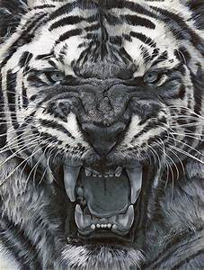 Pencil & Pen Tiger Study - by Julio Lucas on Behance
