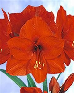 Amaryllis Zwiebeln Kaufen : l amaryllis rouge hippeastrum vente bulbes fleurs en ligne ~ Frokenaadalensverden.com Haus und Dekorationen