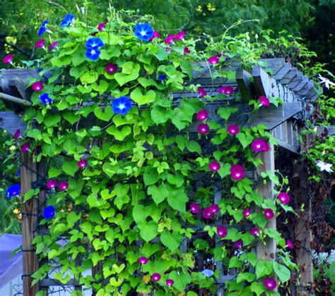 Pergola Climbing Plants  Nature's Roof