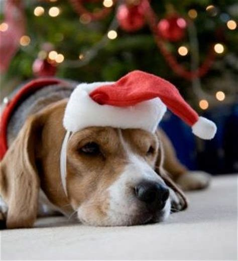 waiting  santa beagle puppy dog christmas holidaydogs