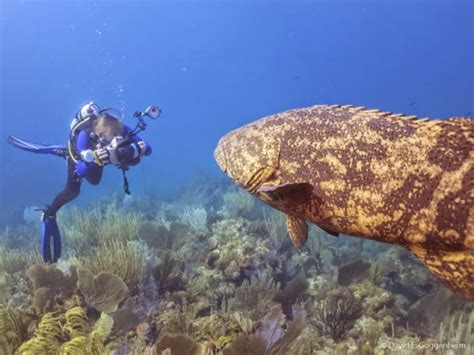 goliath grouper atlantic endangered cuba groupers pouted protected conservation ocean lifted embargo