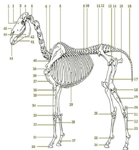 anatomie des pferdes tierheilpraktiker verband schweiz