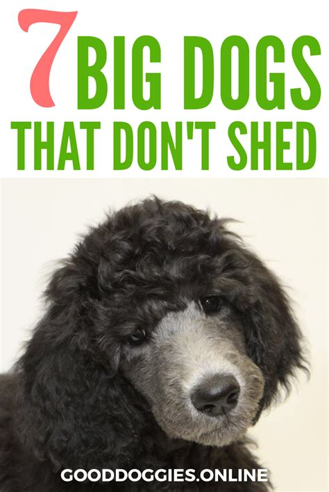 big breeds that don t shed 7 big dogs that don t shed