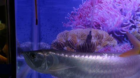 30 gambar keren ikan arwana