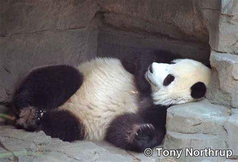 lazy panda jhocy