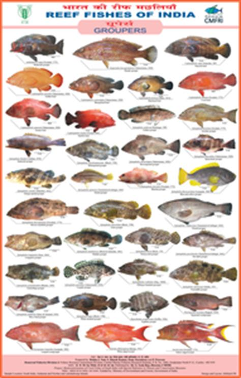 reef fishes  india groupers cmfri repository