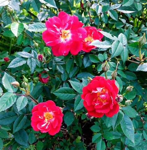 easy care roses wshg net care for roses part 3 summertime roses featured for the garden july 30 2015